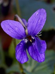 Viola odorata (Sweet Violet) (Hugh Knott) Tags: violaodorata flora flowers anglesey mon wales uk violaceae macro sweetviolet