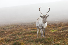 Misty Mountain Deer! (captures.in.time) Tags: rudolph reindeer cairngorm heard christmas card merry scotland aviemore tundra nationalpark cairngormraindeer highlands grampian santa cairngorms wildlife nature scottishwildlife wildlifephotography naturephotography