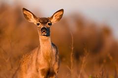Check out my teeth - Black-tailed Deer (Minder Cheng) Tags: sanluisnationalwildliferefuge blacktaileddeer