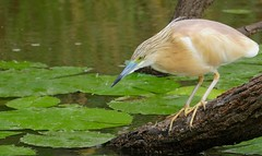 Squacco Heron (Ardeola ralloides) fishing ... (berniedup) Tags: squaccoheron ardeolaralloides heron taxonomy:binomial=ardeolaralloides bird lakepanic kruger