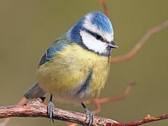 Herrerillo común  (Cyanistes caeruleus) (9) (eb3alfmiguel) Tags: aves pájaros insectívoros passeriformes paridae herrerillo común cyanistes caeruleus