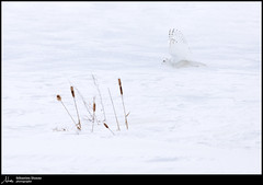 Harfang des neiges (Sébastien Dionne photographe) Tags: harfang harfangdesneiges snowyowl owl hibou hiboux blanc white winter hiver snow canon canon5dmarkiv canon5dmkiv 5dmarkiv 5dmkiv 150600mm 150600 sigma sigma150600 sigma150600dgoshsmsport sigma150600s