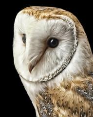 Barn owl (Palmsgb) Tags: owl barn bird photoshop greycstoration feathers