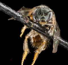 Lasioglossum flaveriae, F, face, Florida, Miami-Dade County_2013-03-07-14.22.27 ZS PMax (Sam Droege) Tags: zerenestacker stackshot geologicalsurvey unitedstatesgeologicalsurvey departmentoftheinterior droege biml beeinventoryandmonitoringlaboratory bug bugs canon closeup macro insect patuxentwildliferesearchcenter pwrc usgs dofstacking stacking entomologist canonmpe65 taxonomy:binomial=lasioglossumflaveriae animals animal bee bees apoidea hymenoptera pollinator nativebee entomology macrophotography usinterior