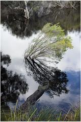 Tree brach growing in water. (Jerome Cornick) Tags: tree brach water southyunderup