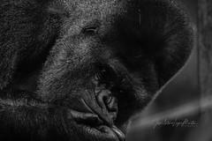 Triste mirada (Lagier01) Tags: fauna gorila mamiferos parquenaturaldecabarceno animales