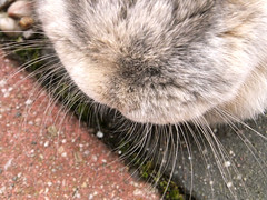 Whiskers (eveliensbunnypics) Tags: bunny rabbit lop lopeared polly face whisers closeup