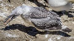 Bill skill (Stefan Marks) Tags: animal australasiangannet bird chick gannet morusserrator nature outdoor young aucklandwaitakere northisland newzealand