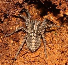 cf female Alopecosa barbipes  lycosidae (BSCG (Badenoch and Strathspey Conservation Group)) Tags: arachnid lycosidae spider female january