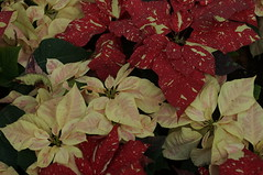 DSC00658- Warm and Lovely (oliveplum) Tags: poinsettiawishes2018 leica60f28macro sony singapore christmas gardensbythebay flowerdome