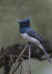 Portrait Of A Leaden Flycatcher (boydmace) Tags: leadenflycatcher myiagrarubecula australia bird nature flycatcher