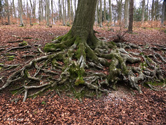 Root system (mark.griffin52) Tags: england buckinghamshire wendoverwoods countryside woodland forest beech tree roots