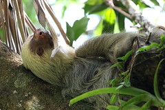 Sloth-IMG_5448-001 (cherrytree54) Tags: sloth costa rica canon 70d 70200