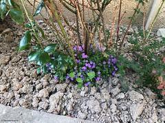 fleur-violette© (alexandrarougeron) Tags: photo alexandra rougeron flickr fleurs nature plante végétal végétale ville beauté couleur frais