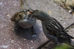 Feeding the young (Ian@NZFlickr) Tags: sparrow feeding young chick cafe crumbs waitati dunedin nz