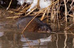 On the pond (JD~PHOTOGRAPHY) Tags: wild wildlife wildanimal wildlifeportrait northamericanwildlife pond water swimming nature canon canon6d muskrat