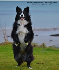 Standin' on my own two feet (ASHA THE BORDER COLLiE) Tags: funny border collie picture standing inspirational quote new year resolutions sea beach ashathestarofcountydown connie kells county down photography