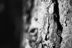 structure (Jos Mecklenfeld) Tags: autumn herbst herfst nature natuur forest wald bos westerwolde niederlande nederland jipsingboertange groningen netherlands nl natur bast bastfaser bastfibre