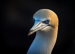 Australasian gannet (loveexploring) Tags: australasiangannet morusserrator muriwai muriwaigannetcolony newzealand northisland takapu bird darkbackground gannet portrait seabird warmlight wildlife