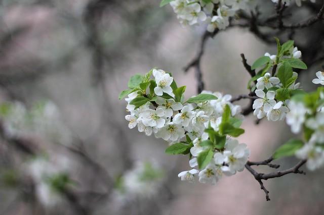 Обои ветка, весна, слива картинки на рабочий стол, раздел цветы - скачать