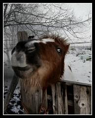 Charel (patrick.verstappen) Tags: caballo encantador texturizado dulce photo picassa pinterest patrick verstappen montenaken belgium nikon d5100 sigma winter january 26012019 portrait ipernity ipiccy image imagine yahoo gingelom google flickr facebook phototrick black xxx cheval charmant texturé sucré 马 可爱 纹理 甜 bélgica лошадь прекрасный текстурированный милая horse animal textured textura texture texturado charel poney shetland dinner eat