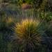 2012-02-20 TEC Savanna-0335 Schizachyrium sanguineum - E.P. Mallory