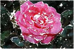 Wohlan, wir schlagen Hand in Hand (amras_de) Tags: rose rosen ruža rosa ruže rozo roos arrosa ruusut rós rózsa rože rozes rozen roser róza trandafir vrtnica rossläktet gül blüte blume flor cvijet kvet blomst flower floro õis lore kukka fleur bláth virág blóm fiore flos žiedas zieds bloem blome kwiat floare ciuri flouer cvet blomma çiçek zeichnung dibuix kresba tegning drawing desegnajo dibujo piirustus dessin crtež rajz teikning disegno adumbratio zimejums tekening tegnekunst rysunek desenho desen risba teckning çizim