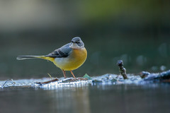 Grey Wagtail (microwyred) Tags: animal animalwing animalsinthewild beautyinnature bird birdwatching brown closeup nature outdoors small wildlife winter feather