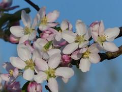 Soon To Come (Marit Buelens) Tags: germany deutschland duitsland kaiserstuhl tree flower bloem fruittree blossom bloesem fruitboom bloei white pink endingen orchard boomgaard