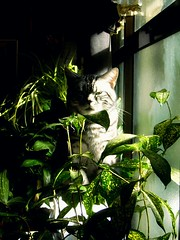 Jungle in the house (nikoge) Tags: 猫 アメリカンショートヘア 草 植物 光 影 animal cat green plants light shadow kittysuperstar catmoments coth