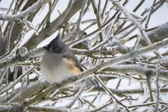 It's cold ! Il fait froid ! (CTfoto2013) Tags: bird oiseau tree arbre ice glace branche branch newengland lumix panasonic color couleur winter hiver nature naturephotography tuftedtitmouse snow neige frozen gele outdoor