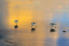 3 Sanderlings at Venice Beach (lgflickr1) Tags: cute birds sanderlings ocean beach venicebeach animalplanet animal blue blur california dusk exterior nopeople nature outdoor outside orange peaceful pretty reflection water wildlife sony a9 three running glow wet sand golden light yellow bird seashore sea
