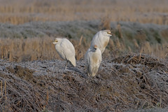 Aironi guardabuoi (Ricky_71) Tags: western cattle egre winter swamp wild nikon