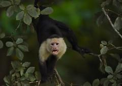 White-faced capuchin (anacm.silva) Tags: whitefacedcapuchin whitefacedmonkey monkey macaco wild wildlife nature natureza naturaleza mammal mamífero tárcoles costarica ngc