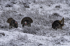 Strutting in the snow (smbrooks_2000) Tags: turkeys wildlife snow columbia california bird birds turkey wildturkey animal