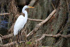 At Home In The Debris (Robert F. Carter) Tags: lakeland florida unitedstatesofamerica us cbbr circlebbarreserve wetland wetlands marsh marshes swamp swamps egret egrets greategret greategrets white birds bird wildlife casmerodiusalbus ngc