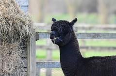 Feeding Time (Pam P Photos) Tags: alpaca animal