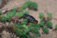 Bufonidae: Melanophryniscus montevidensis (Kristof Zyskowski and Yulia Bereshpolova) Tags: bufonidae melanophryniscus montevidensis uruguay