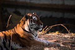Siberian Tiger #2 (Rolf Sch.) Tags: amurtiger amur tiger siberian wildlife zoo dieren park dierenpark ouwehand rhenen nature animal cat big