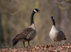 Zwiegespräch... (wernerlohmanns) Tags: wildlife wasservögel natur outdoor nikond750 d750 deutschland gänsevögel gänse kanadagans