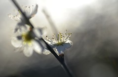 blackthorn blossom in the sun (conall..) Tags: prunus spinosa blackthorn sloe prunusspinosa blossom flower intothelight nikon afs nikkor f18g lens 50mm prime primelens nikonafsnikkorf18g closeup raynox dcr250 macro county down tullynacree nw551041 annacloy garden northernireland hedge backlit backlight sun sunny silhouette spring hedgerow