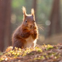 Red Squirrel (Richard J Hunt) Tags: woods nature wildlife formby redsquirrel