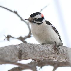 071. Woodpecker (Misty Garrick) Tags: arboretum universityofminnesotalandscapearboretum landscapearboretum flowershow bird birds birding