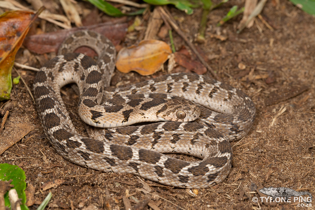 The World's Best Photos of dasypeltis and scabra - Flickr
