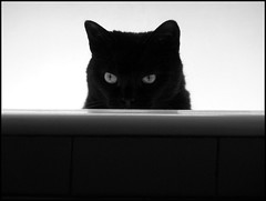 L'AGGUATO (claudiobertolesi) Tags: gattaiside blackcat gatto cat black eyes claudiobertolesi pets 2014 animali felini animalidomestici