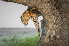 Leopard Down the Tree (helenehoffman) Tags: africa kenya pantheraparduspardus felidae mammal conservationstatusvulnerable cat feline africanleopard leopard bigcat maasaimaranationalreserve animal