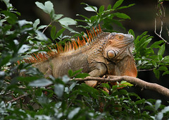 Green Iguana (in breeding colors) (ashockenberry) Tags: ashleyhockenberryphotography animal wildlife wildlifephotography wild wilderness forest reserve rica rainforest reptile costa majestic mountains naturephotography nature natural native beautiful beauty vacation travel tourism iguana lizard jungle tropical arboreal habitat