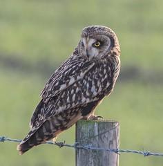 Short-eared Owl (Lutra56) Tags: shortearedowl owl asioflammeus birdsofprey bird wildlife naturephotography nature