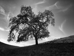 Tree at Calero in the Afternoon (StefanB) Tags: 2018 calerocountrypark cloud geotag lgv30 mood outdoor tree treescape hiking usa california sanjose clouds