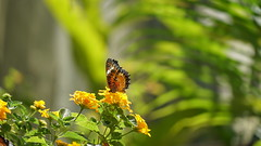 2019-02-11_12-52-01_ILCE-6500_DSC02855 (Miguel Discart (Photos Vrac)) Tags: 2019 202mm animal animalphotography animals animalsupclose animaux butterfly chiangmai e18135mmf3556oss fleurs flowers focallength202mm focallengthin35mmformat202mm holiday ilce6500 iso200 nature naturephotography papillon pet sony sonyilce6500 sonyilce6500e18135mmf3556oss thailand thailande travel vacances voyage